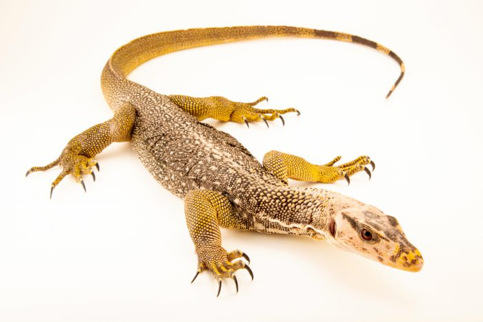 Photo: Large-scale water monitor (Varanus nuchalis) from the private collection in San Antonio.