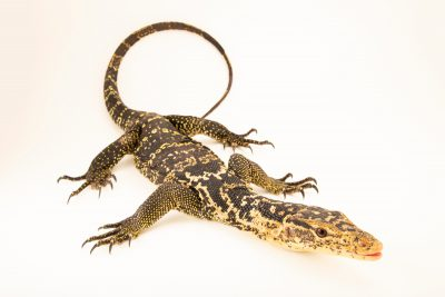 Photo: Palawan water monitor (Varanus palawanensis) from the private collection in San Antonio.