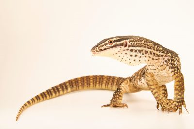 Photo: Argus Monitor (Varanus panoptes) from a private collection.