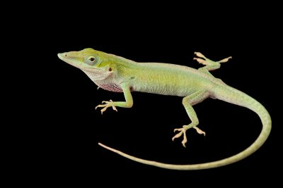 Photo: A male Cuban green anole (Anolis porcatus) from a private collection.