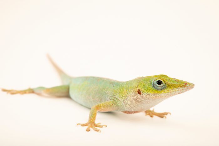 Photo: A female Cuban green anole (Anolis porcatus) from a private collection.