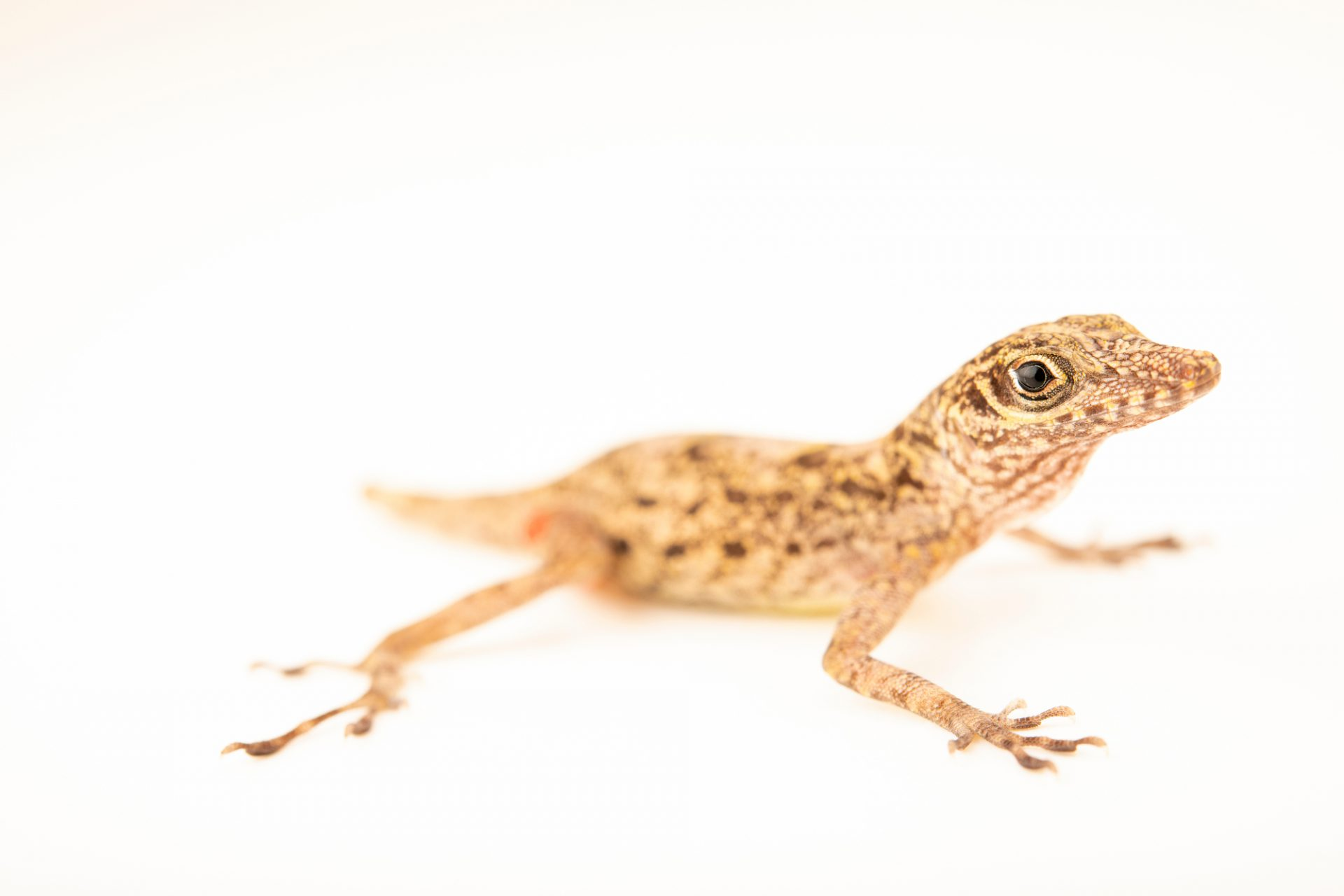 Photo: Guantanamo Anole (Anolis argenteolus) from a private collection.
