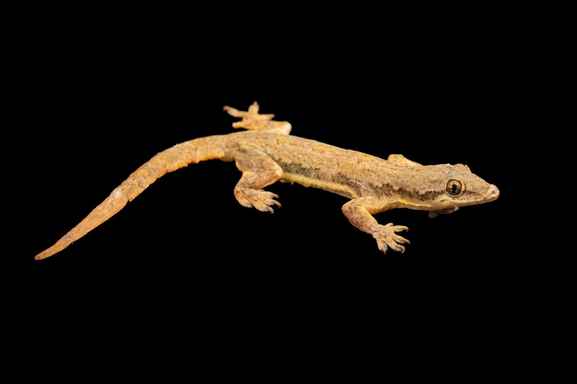 Photo: Frilled house gecko (Hemidactylus platyurus) at Crocolandia in the Philippines.