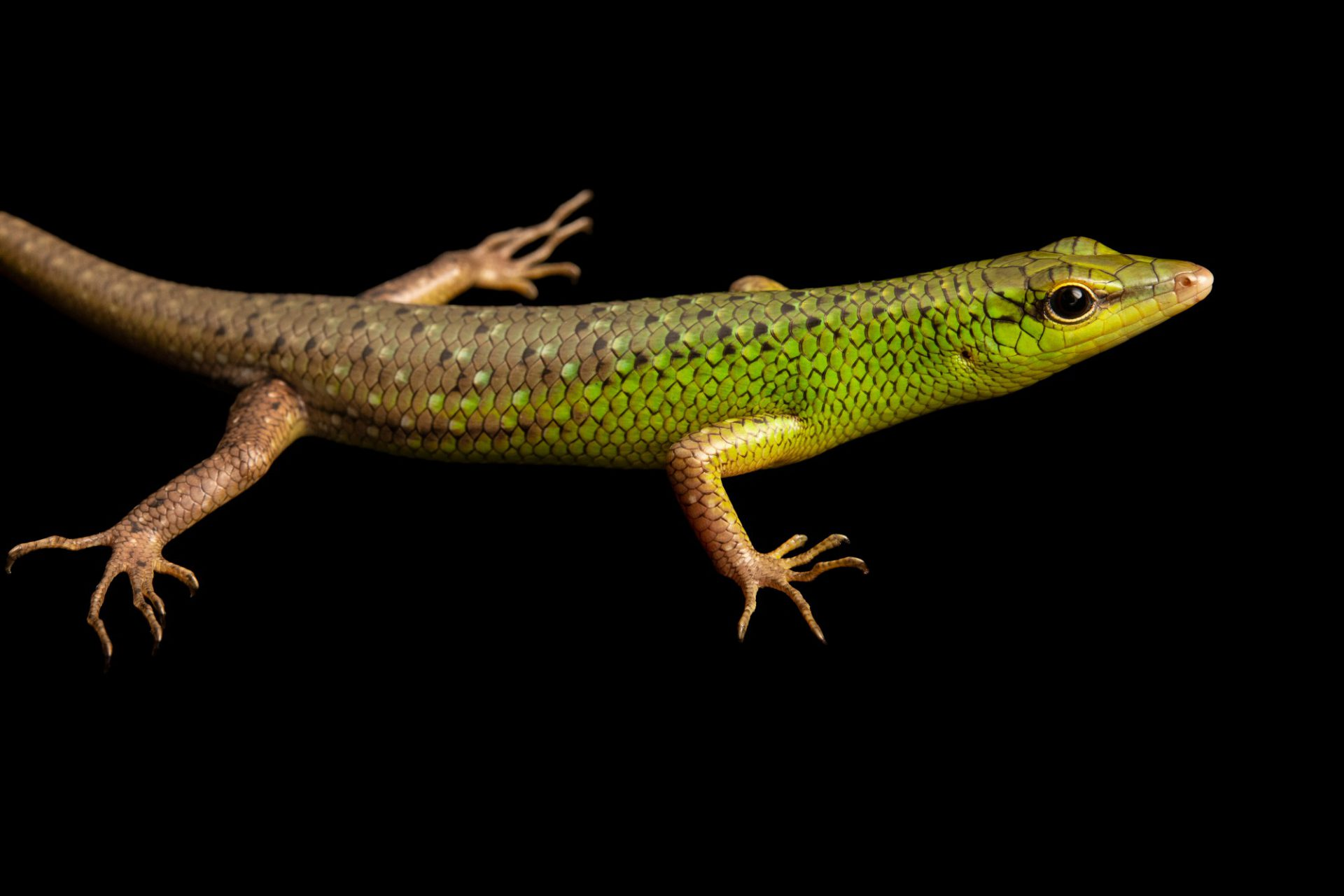 Photo: Emerald skink (Lamprolepis smaragdinus philippinensis) at Crocolandia in the Philippines.