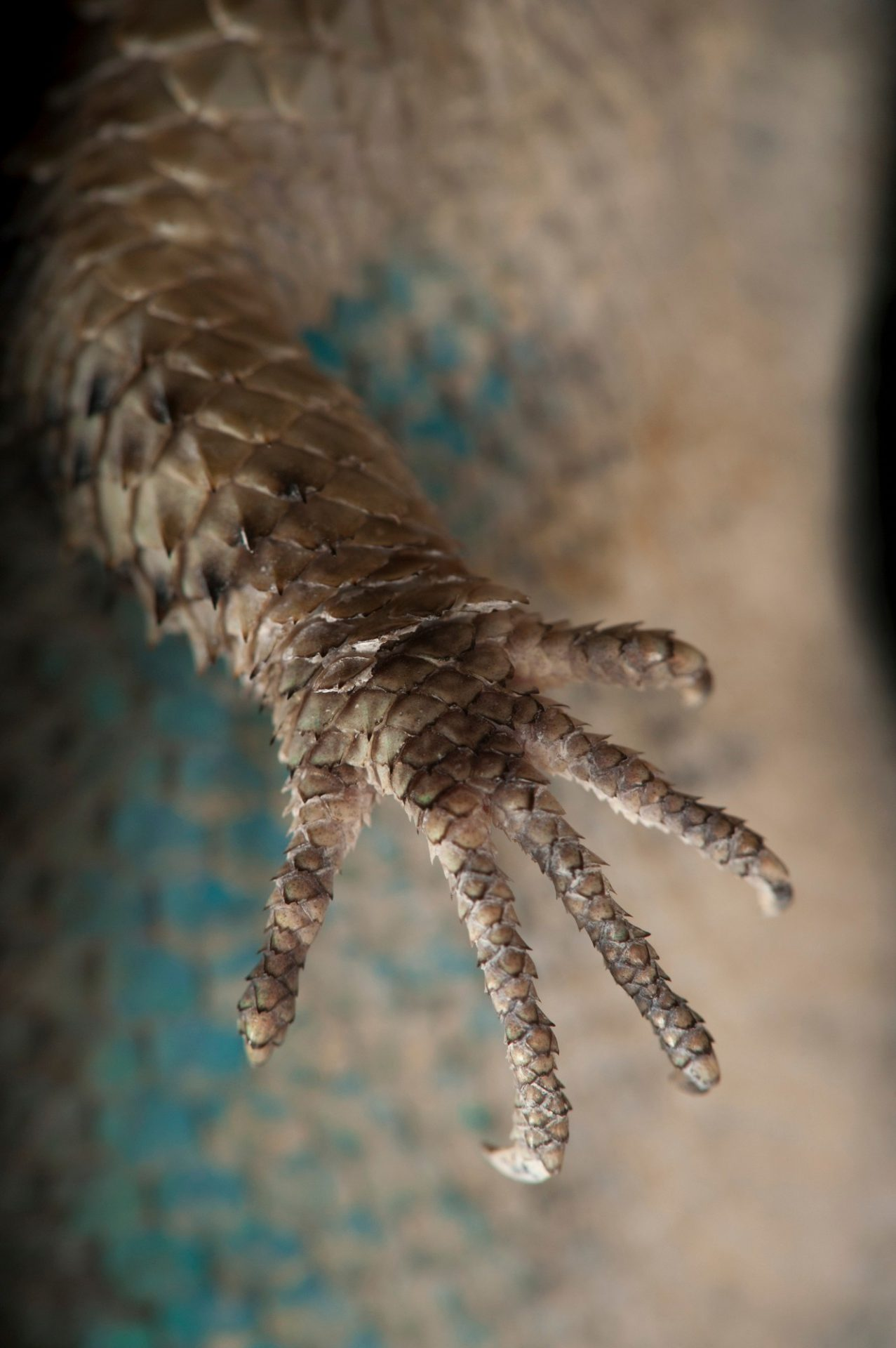 Photo: The hand of a blue spiny lizard (Sceloporus serrifer) at the Houston Zoo.
