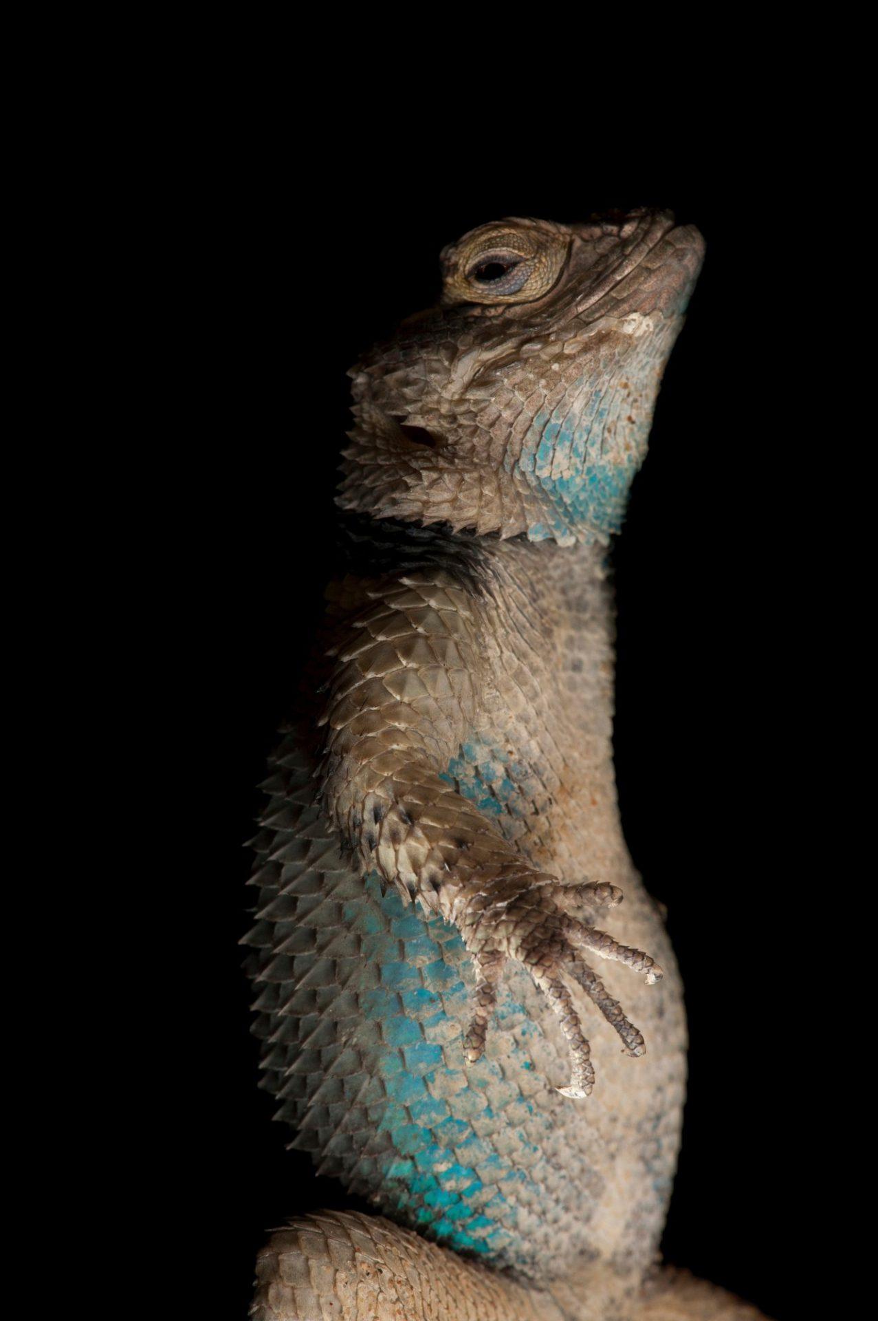 Photo: A blue spiny lizard (Sceloporus serrifer) at the Houston Zoo.
