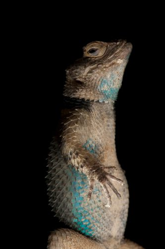 Photo: A blue spiny lizard (Sceloporus serrifer) at the Houston Zoo.