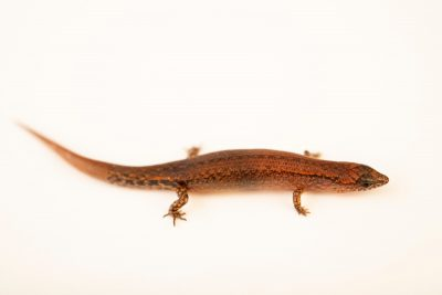 Photo: A juvenile Philippine forest skink (Parvoscincus sp.) at the University of the Philippines.