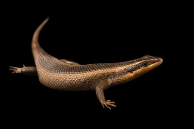 Photo: African striped skink, Trachylepis striata, at the Houston Zoo.