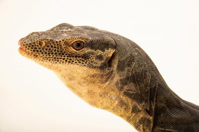 Photo: A rainbow water monitor (Varanus yuwonoi) at Taman Mini Indonesia Indah.