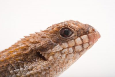 Photo: A pygmy spiny tailed skink (Egernia depressa) at the Louisville Zoo.
