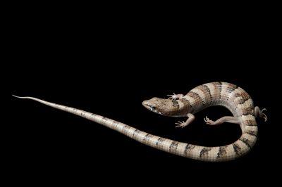 Photo: A Madrean alligator lizard (Elgaria kingii nobolis) at the Phoenix Zoo.