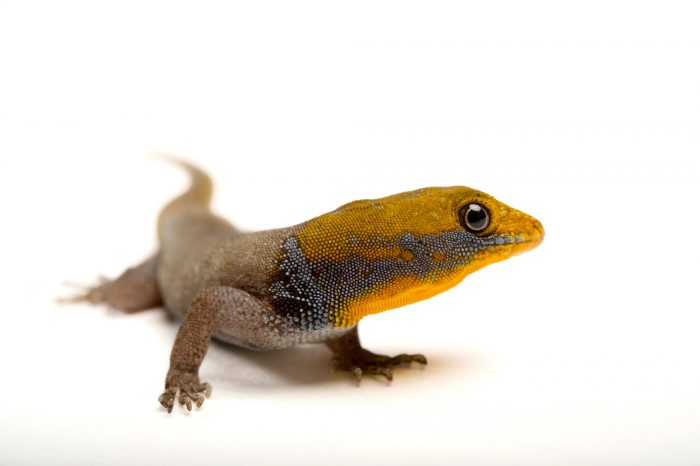 Photo: A yellow-headed gecko (Gonatodes albogularis) from a private collection.