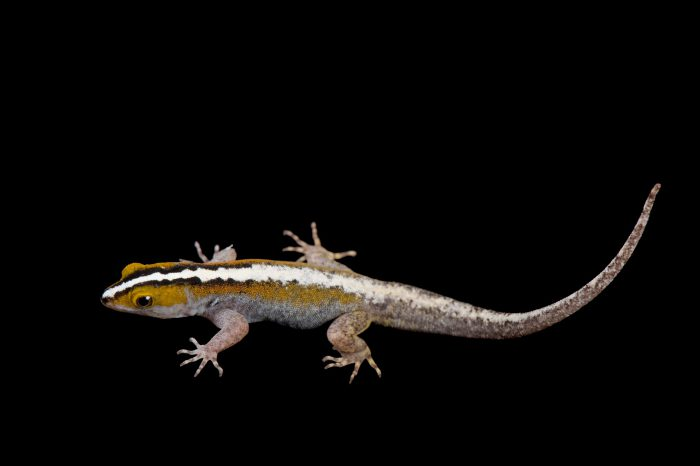 Photo: A white-striped gecko (Gonatodes vittatus) from a private collection.