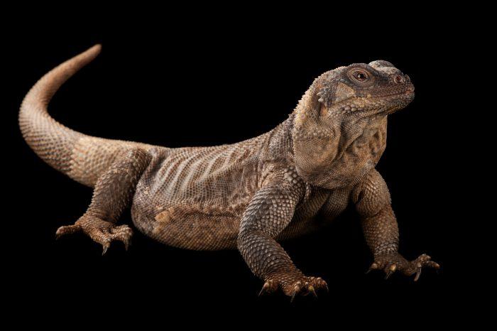 Angel Island chuckwalla also known as a spiny chuckwalla (Sauromalus hispidus) at the Houston Zoo.
