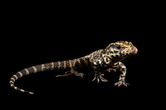 Photo: Columbian tegu lizard (Tupinambis teguixin) at Seattle Reptiles.