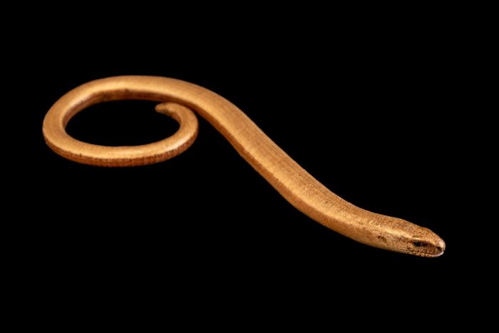 Photo: A slowworm or legless lizard (Anguis fragilis) at the Biodiversity Hall of Natural History and Science Museum.