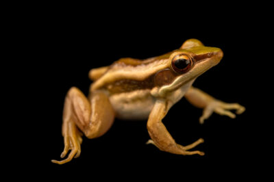 Photo: A green mountain frog (Odorrana livida) at Petra Aqua.