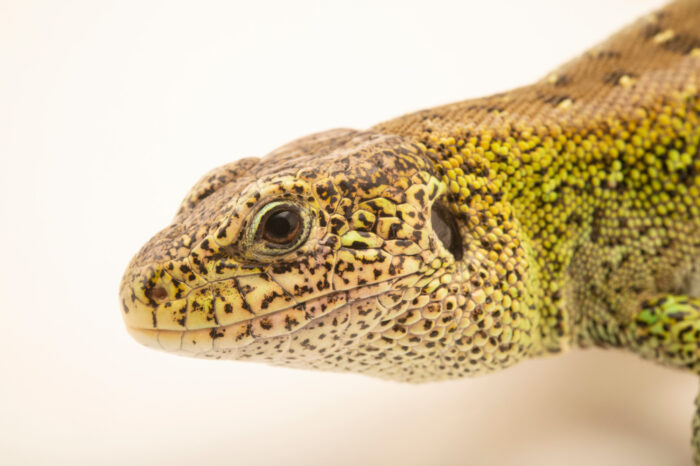 Photo: A sand lizard (Lacerta agilis agilis), at Wildwood Trust near Canterbury, England.