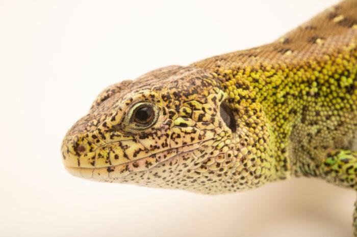 Photo: A sand lizard (Lacerta agilis agilis), at Wildwood Trust near Canterbury, England.