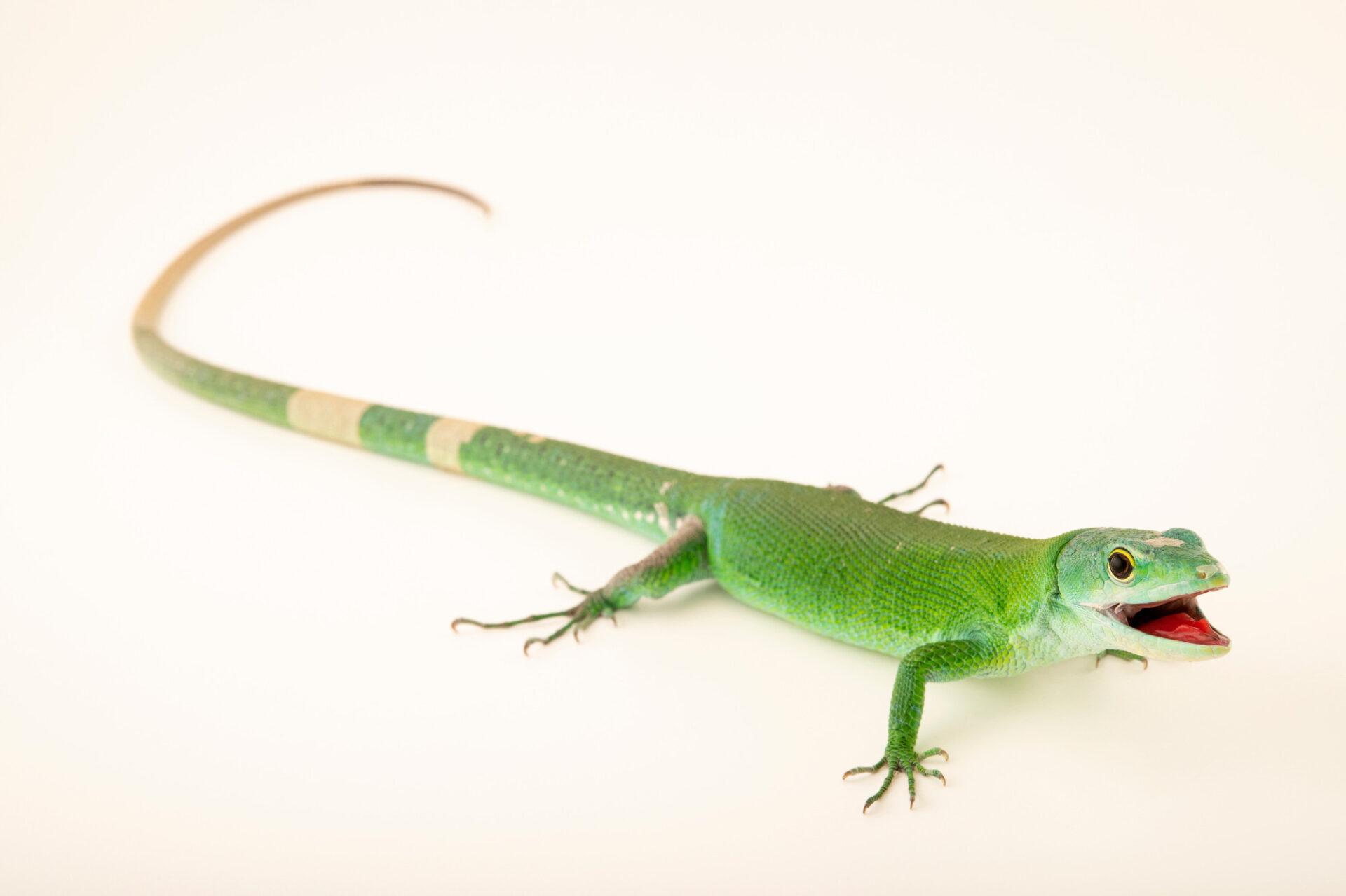 Photo: A green keel-bellied lizard (Gastropholis prasina) at Aquarium Berlin.