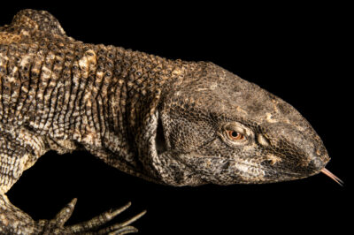 Photo: A male black-throated monitor (Varanus albigularis microstictus) named Vulture, at Cub Creek Science Camp in Rolla, MO. Cub Creek Science Camp is a science summer camp located in central Missouri.