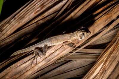 Photo: A diving lizard or mophead iguana (Uranoscodon superciliosus) in the wild in Manaus, Brazil.