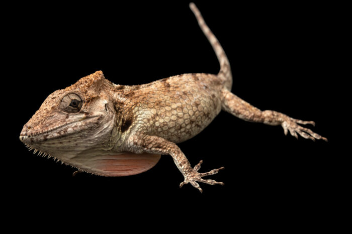 Photo: An undescribed Anolis species from the Gran Piedra Mountains in Cuba.