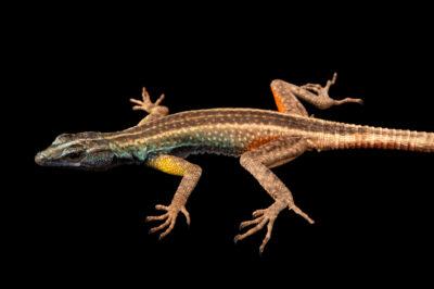Photo: A Augrabies flat lizard (Platysaurus broadleyi) at the Plzen Zoo in the Czech Republic.