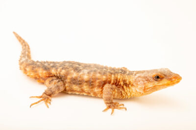 Photo: A East African spiny-tailed lizard (Cordylus jonesi) at the Plzen Zoo in the Czech Republic.