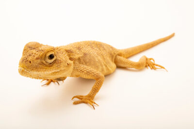 Photo: A desert agama (Trapelus mutabilis) at the Plzen Zoo in the Czech Republic.
