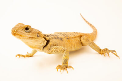 Photo: A starred agama (Stellagama stellio cypriaca) at the Plzen Zoo in the Czech Republic.