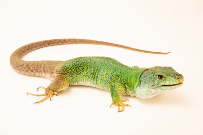 Photo: A Moroccan eyed lizard (Timon tangitanus) at the Plzen Zoo in the Czech Republic.