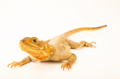Photo: An African common agama (Agama agama africana) at the Plzen Zoo in the Czech Republic.