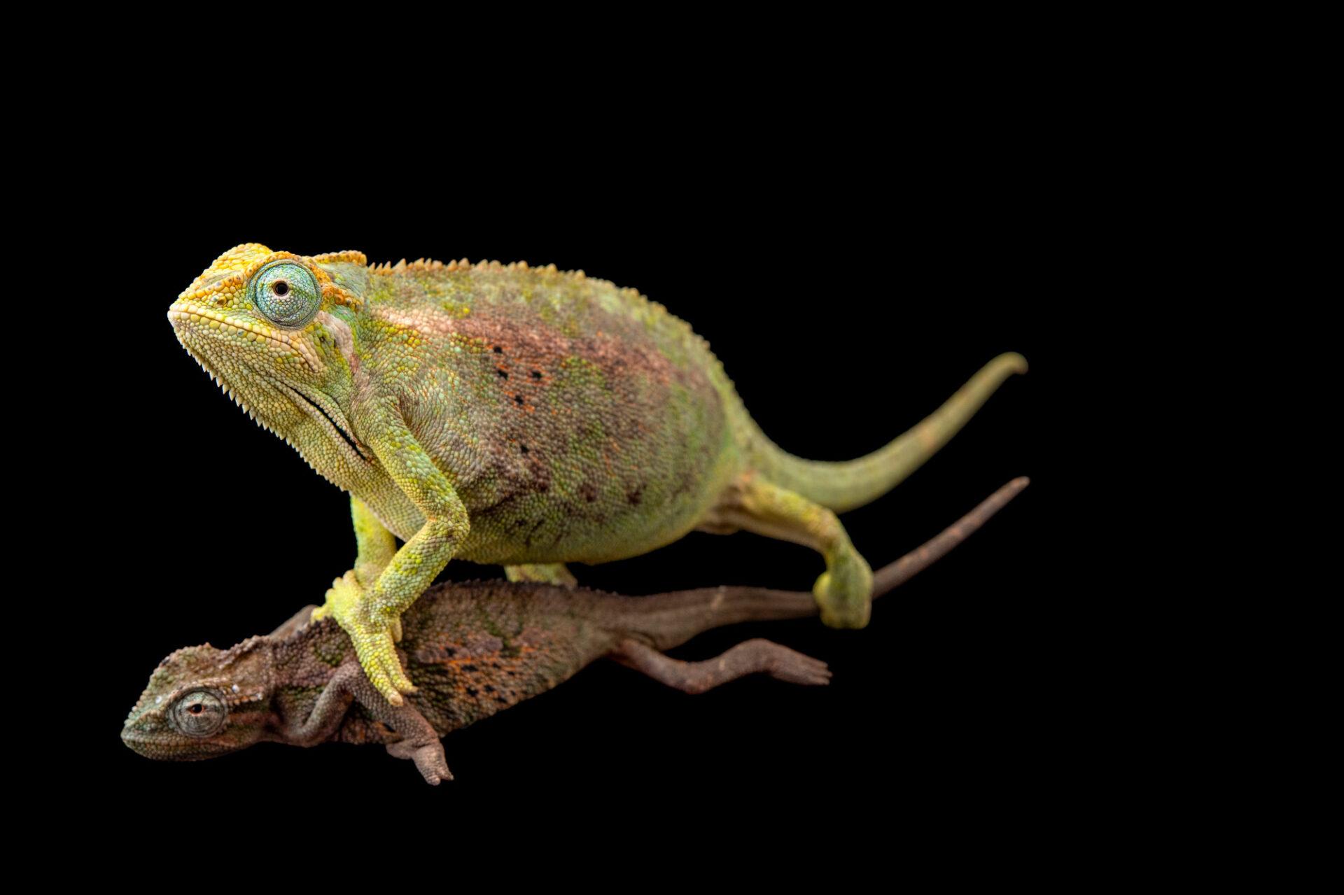Photo: Two Elliot's groove-throated chameleons (Trioceros ellioti) at Zoopark Zajezd.