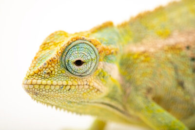 Photo: A female Elliot's groove-throated chameleon (Trioceros ellioti) at Zoopark Zajezd.