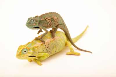 Photo: Two Elliot's groove-throated chameleons (Trioceros ellioti) at Zoopark Zajezd.
