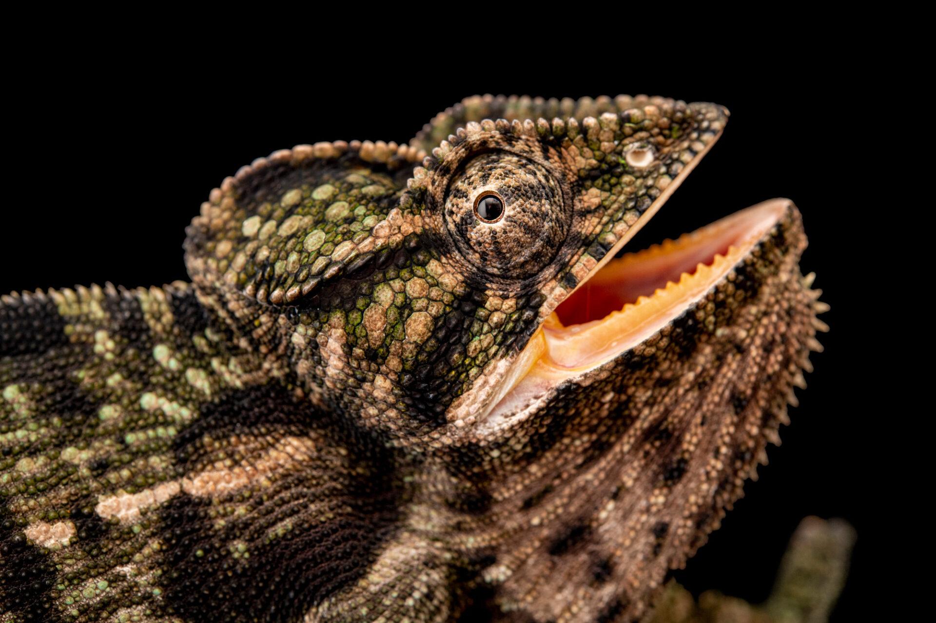 Photo: A female greater carpet chameleon (Furcifer major) at Zoopark Zajezd.