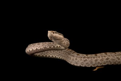 Photo: Kham Plateau pitviper (Protobothrops xiangchengensis) from the private collection in San Antonio.
