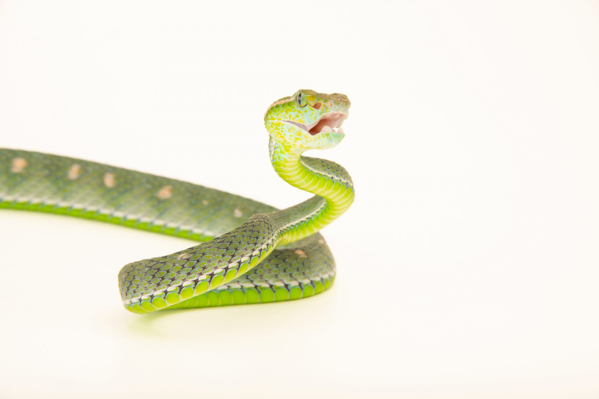 Photo: Hagen's pit viper (Trimeresurus hageni) from the private collection in San Antonio.