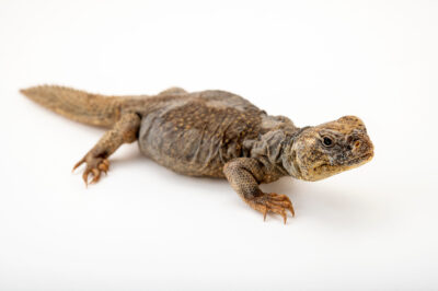 Photo: A Moroccan spiny tailed lizard (Uromastyx nigriventris) at Zoopark Zajezd.