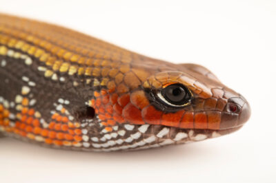 Photo: A fire skink (Lepidothyris fernandi) at Prague Zoo.