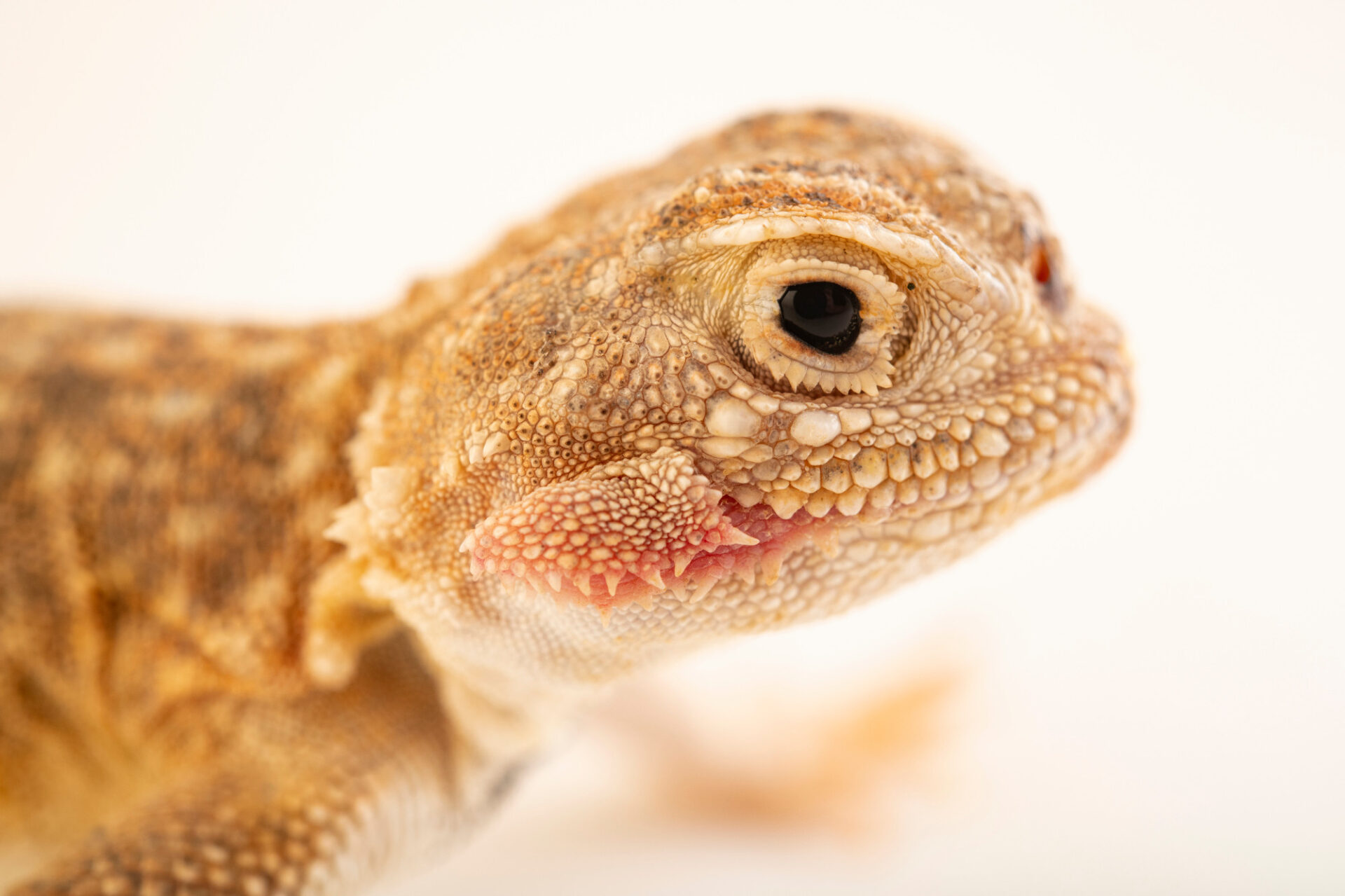Photo: A secret toad-headed agama (Phrynocephalus mystaceus mystaceus) at Prague Zoo. It has cheek flaps that it can extend out the sides of its head to make its mouth look wider, scaring off some predators.