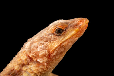 Photo: An East African spiny-tailed lizard (Cordylus jonesi) at the Plzen Zoo in the Czech Republic.