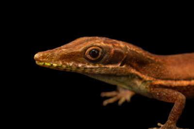 Photo: A Henderson's anole (Anolis hendersoni) at the Plzen Zoo in the Czech Republic.
