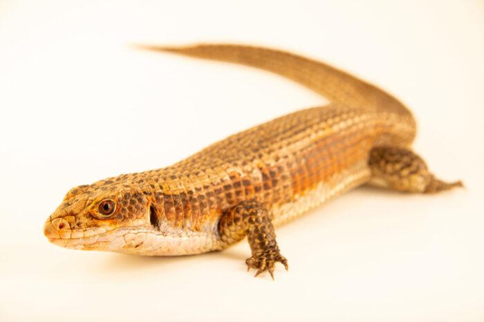 Photo: A western plated lizard (Broadleysaurus major bottegoi) at the Jacksonville Zoo and Gardens, Jacksonville, Florida.