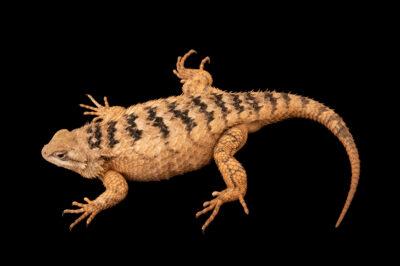 Photo: A Texas spiny lizard (Sceloporus olivaceus) at Nebraska Wildlife Rehab.