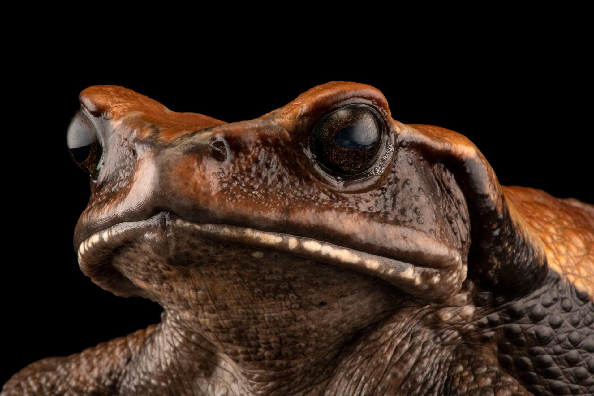 Photo: A giant Blomberg toad (Rhaebo blombergi) at Centro Jambatu in Quito, Ecuador.