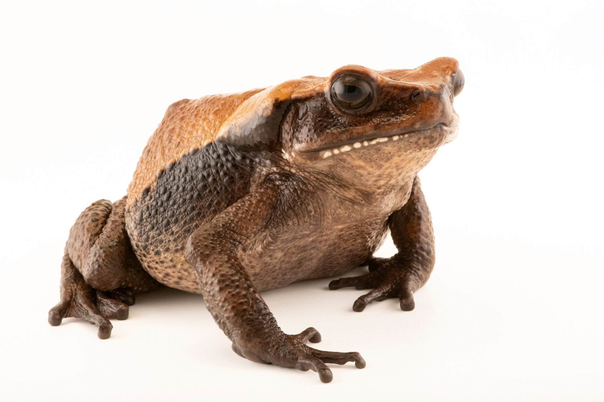 Photo: A giant Blomberg toad (Rhaebo blombergi) at Centro Jambatu in Quito, Ecuador.