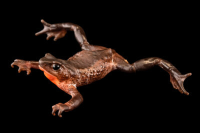 Photo: A critically endangered Jambato toad (Atelopus ignescens) at Centro Jambatu in Quito, Ecuador.